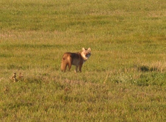 This coyote was captured on camera in Resort Township by Emmet County staff in 2014.