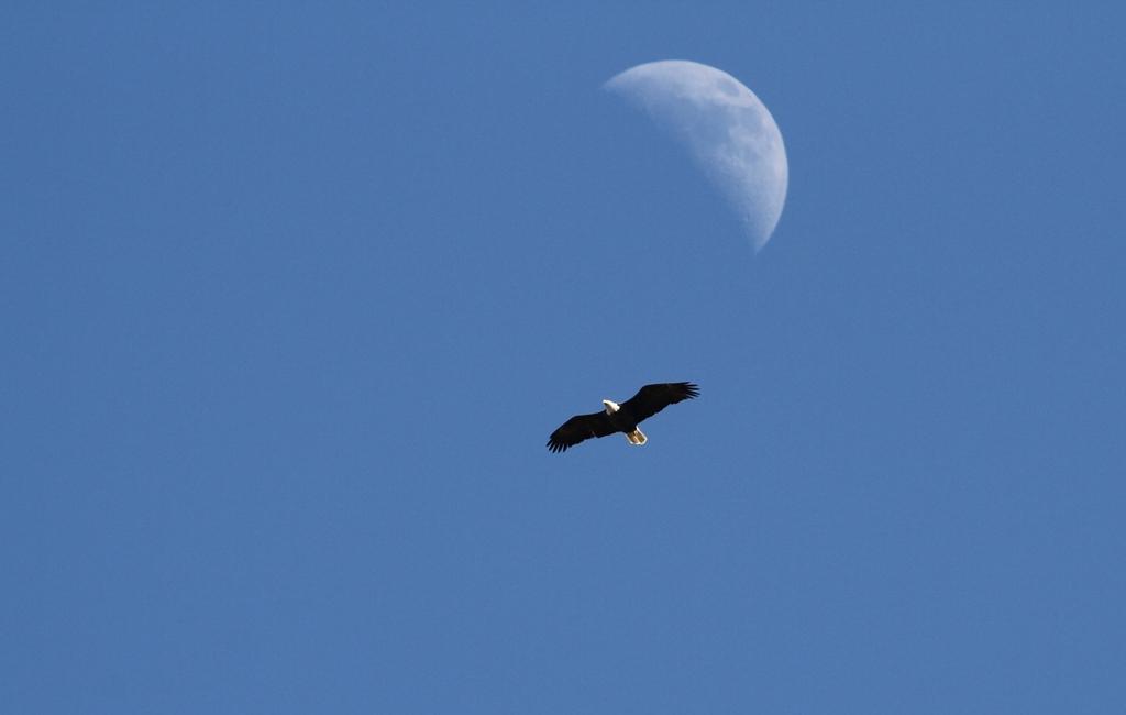 web eagle moon crop web resized