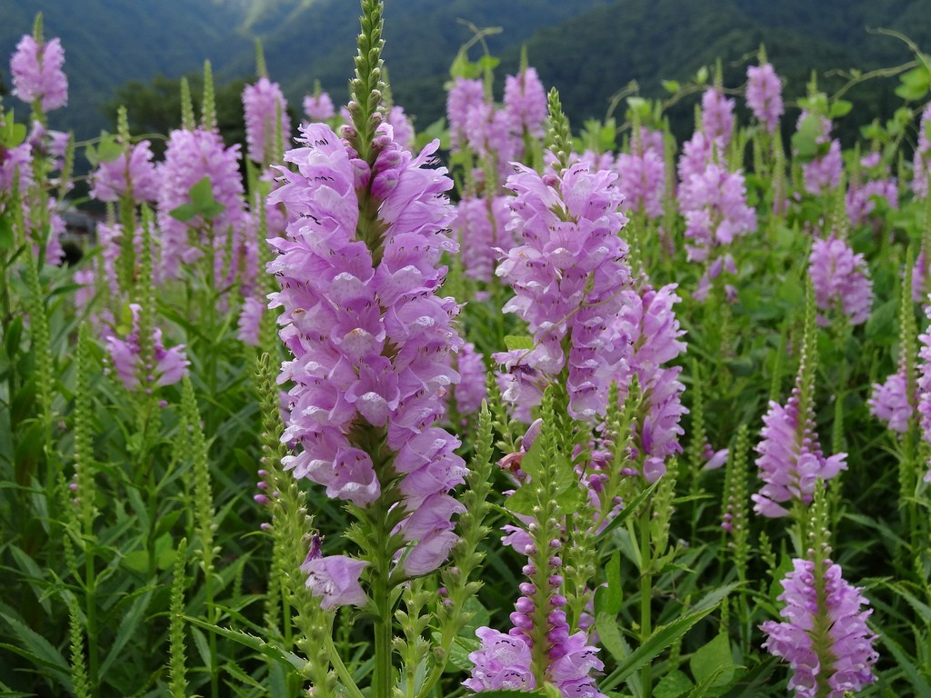 false dragonhead for plant sale